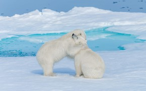 Картинка зима, белый, снег, природа, поза, берег, лёд, медведь, медведи, объятия, пара, медвежонок, белые, медвежата, белый …