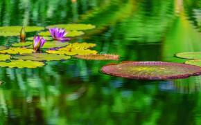 Картинка листья, вода, Цветок, Водяная лилия