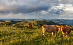Обои зелень, поле, животные, лето, трава, взгляд, облака, свет, пейзаж, горы, холмы, две, даль, вечер, коровы, ...