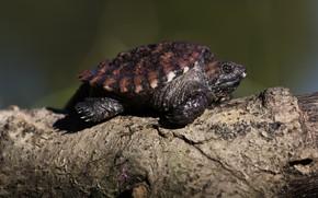 Картинка фон, черепаха, бревно, черепашка