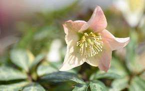 Картинка цветок, макро, фон, морозник, геллеборус