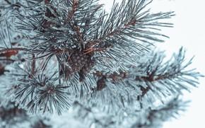 Картинка зима, снег, природа, шишки, сосна, сибирь