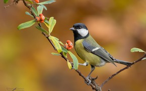 Картинка природа, ягоды, фон, ветка, птичка, синица