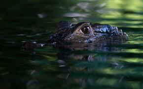 Картинка взгляд, морда, вода, хищник, крокодил, водоем, зеленый фон, плавание, боке, выглядывает, аллигатор, рептилия