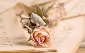 Картинка ноты, роза, бутон, винтаж, розвая