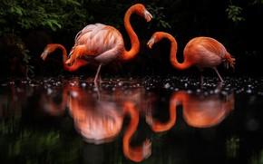 Картинка вода, птицы, отражение, темный фон, листва, три, черный фон, трио, фламинго, водоем, водная гладь, розовый …