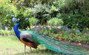 Картинка цветы, природа, Птица, хвост, павлин