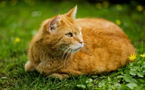 Картинка зелень, кошка, лето, трава, кот, рыжий
