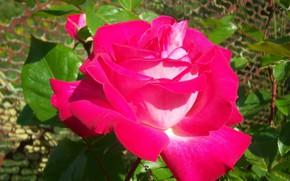 Картинка цветок, макро, роза, бутоны, яркая, Mamala ©