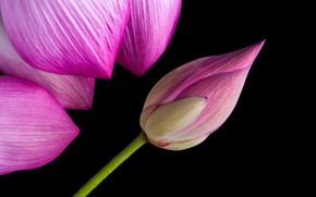 Картинка макро, лепестки, бутон, лотос, flower, pink, lotus, petals