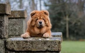 Картинка взгляд, морда, собака, Чау-чау