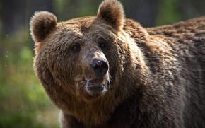 Картинка морда, животное, хищник, медведь, бурый, Александр Перов