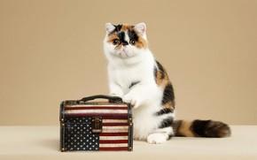 Картинка кошка, взгляд, поза, котенок, фон, мордочка, чемодан, котёнок, фотостудия, экзот