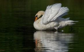 Картинка белый, вода, отражение, птица, лебедь, водоем, зеленый фон, плавание