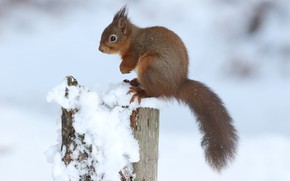 Картинка поза, снег, зима, природа, пень, белка, профиль, хвост