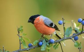 Картинка птица, ветка, плоды, снегирь, слива, тернослива, терновник