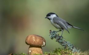 Картинка фон, птица, гриб, боке, гаичка, Андрей Киселёв