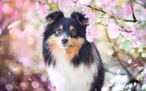 Картинка взгляд, морда, свет, цветы, ветки, фон, портрет, собака, весна, лепестки, сад, щенок, розовые, цветение, соцветия, …