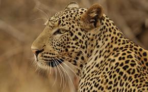 Картинка хищник, леопард, профиль