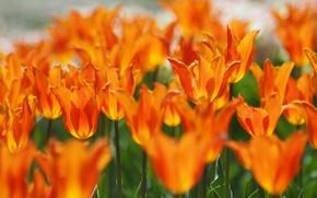 Картинка цветы, размытие, весна, тюльпаны, оранжевые, клумба, боке