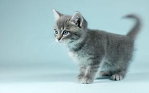 Картинка кошка, взгляд, котенок, серый, фон, голубой, портрет, размытие, маленький, малыш, мордочка, милый, котёнок, полосатый, фотосессия, …