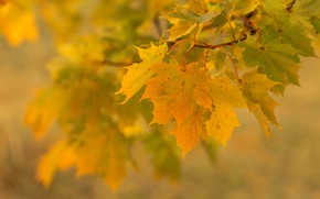 Картинка осень, листья, ветка, клён, боке