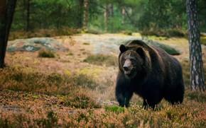 Картинка лес, деревья, медведь, мишка, прогулка, бурый