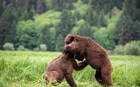 Картинка поле, лес, трава, природа, поза, поляна, игра, борьба, медведь, медведи, пара, друзья, мишки, два, стойка, …