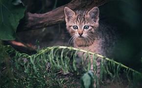 Картинка кот, котенок, малыш, дикий, лесной