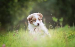 Картинка трава, природа, поляна, собака, щенок, сидит, австралийская овчарка, аусси