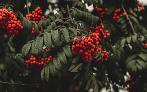 Картинка осень, листья, ветки, природа, ягоды, темный фон, дерево, плоды, красная, рябина, гроздья, гроздья рябины