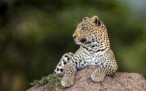 Обои взгляд, морда, природа, поза, зеленый, фон, камень, лапы, леопард, лежит, профиль, дикая кошка, размытый фон, ...