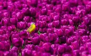 Картинка птица, тюльпаны, жёлтая трясогузка