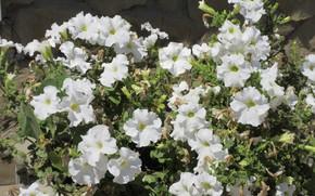 Картинка цветы, петуния, петунии, Mamala ©, лето 2018