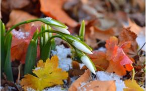 Картинка Снег, Листва, Snow, Подснежники, Leaves, Snowdrops