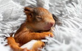 Картинка сон, белка, спит, мех, светлый фон, бельчонок