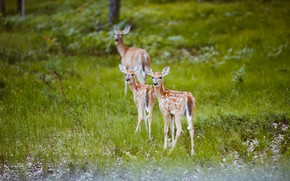 Картинка трава, природа, олени, оленята