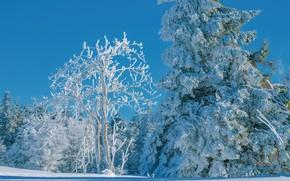 Картинка зима, лес, небо, снег, деревья, синева, дерево, ель, заснеженный