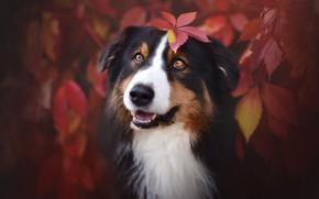 Обои осень, язык, глаза, взгляд, морда, листья, ветки, природа, фон, листва, листок, черно-белая, портрет, собака, красные, ...