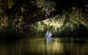 Картинка белый, трава, свет, пейзаж, ветки, природа, поза, озеро, пруд, дерево, заросли, птица, берег, листва, лебедь, …