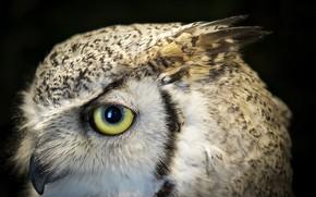 Картинка глаз, сова, клюв, бенгальский филин