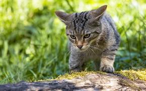 Картинка кошка, трава, кот, взгляд, морда, свет, поза, серый, бревно, полосатый, крадется, боке, дикий, лесной, лесной …
