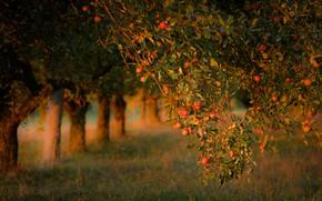 Картинка осень, лето, листья, свет, деревья, ветки, настроение, стволы, поляна, яблоки, сад, урожай, плоды, ряд, фрукты, …