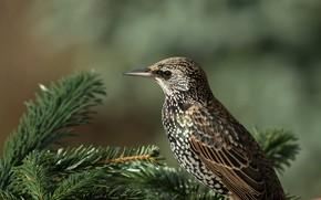 Картинка солнце, ветки, природа, птица, хвоя, боке, скворец, Starling