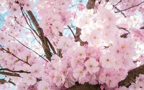 Картинка цветы, ветки, фон, дерево, красота, весна, сакура, розовые, цветение, пышное, обильное