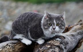 Картинка кошка, кот, взгляд, серый, фон, дерево, брёвна, упитанный, толстая мордочка, косится, манчкин