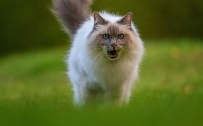 Картинка кошка, трава, кот, взгляд, поза, поляна, мордочка, пасть, прогулка, рэгдолл