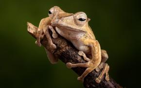 Картинка лягушка, ветка, земноводные, костноголовый веслоног