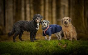 Картинка лес, собаки, взгляд, деревья, природа, поза, фон, дерево, стволы, одежда, мох, три, прогулка, бревно, компания, …