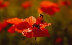 Картинка цветы, пчела, маки, красные, насекомое
